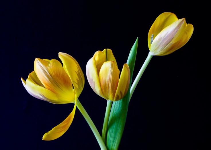 tulip-320774_1920.jpg